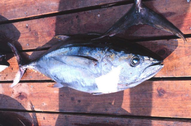 Yellowfin tuna caught off Nags Head Picture