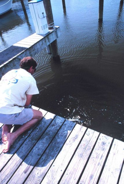 A fisherman catches and releases a small striped bass from the pier at Pirate's Cove. Picture