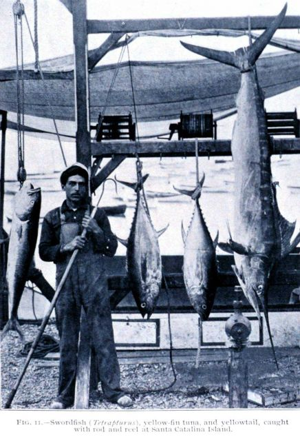 Swordfish (Tetrapturus), yellowfin tuna, and yellowtail, caught with rod and reel at Santa Catalina Island Picture