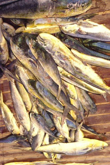 Increased consumer demand may be having an impact on the stocks of Atlantic dolphin fish (mahi mahi). Picture