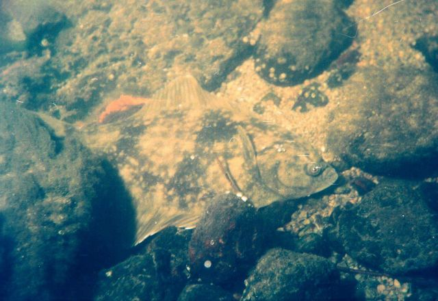 River flounder (Platichthys flesus) on rock in the Barents Sea at Kola Bay at Drovianoe, Lat Picture