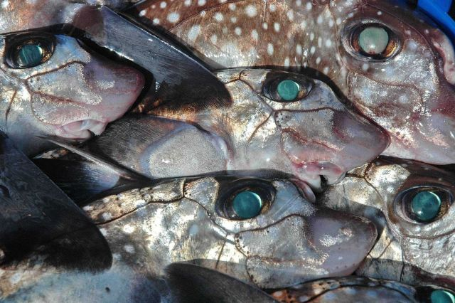Ratfish (Hydrolagus colliei) also known as chimaera, a relative of sharks. Picture