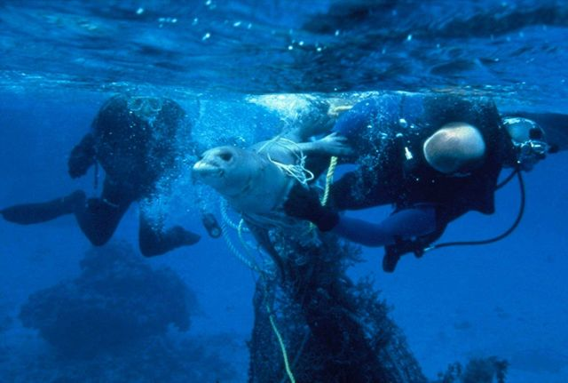 NOAA divers work to free an entangled endangered Hawaiian monk seal caught in a ghost net in the Northwest Hawaiian Islands. Picture