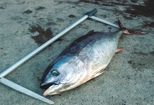 Measuring the length of a bluefin tuna. Picture