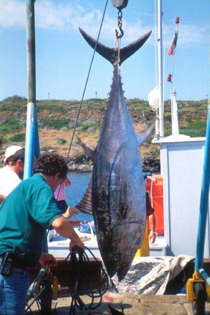 A bluefin tuna caught in the trap at Stintino. Picture