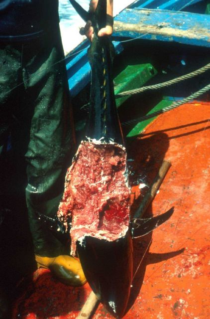 A bluefin tuna attacked by a shark while being brought aboard during pole and line fishing operations Picture
