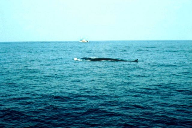 A fin whale - Balaenoptera physalus -on the Bay of Biscay. Picture