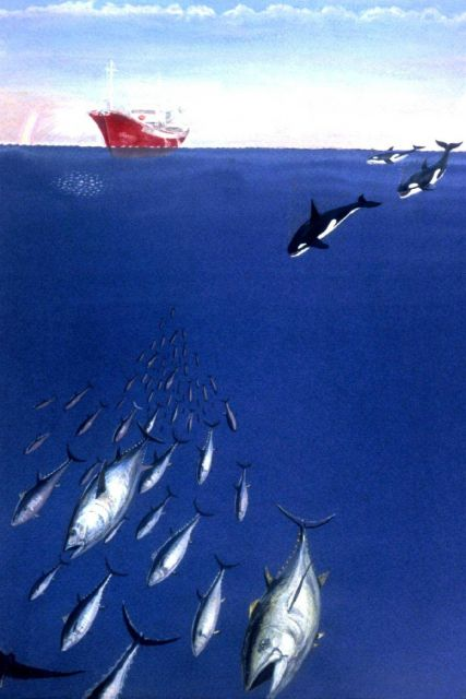 Besides man, killer whales are major predators pursuing tuna. Picture