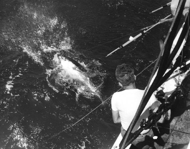 Preparing to tag a large yellowfin tuna caught on longline gear by the Bureau of Commercial Fisheries Ship OREGON in the Caribbean Sea. Picture