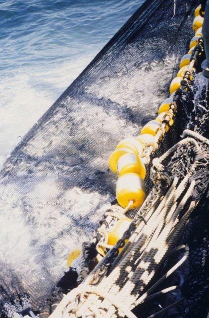 Chub mackerel (Scomber japonicus) catch. Picture