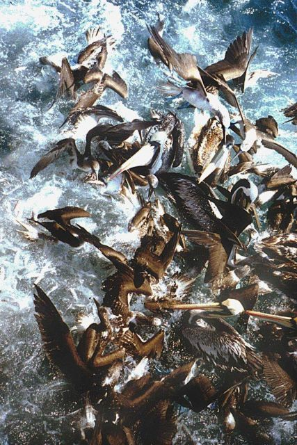 Pelicans (Pelacanus thagus) and gannets (Sula variegata) on a fishing boat net. Picture