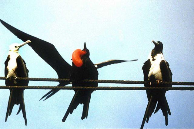 Frigate birds (Fragata magnificens). Picture