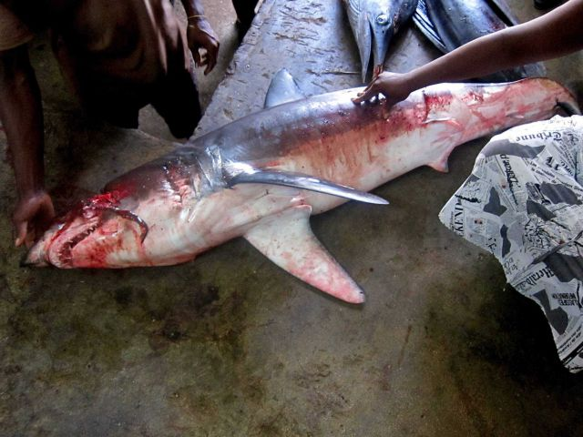 Shark being prepared for Sao Tomean market Picture