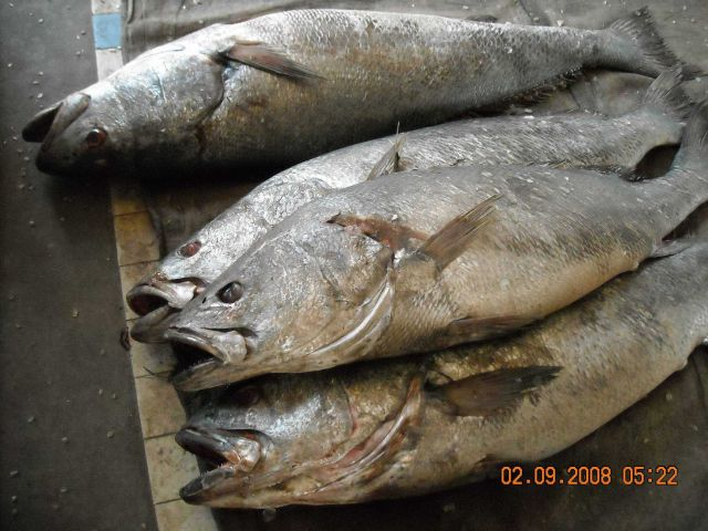 Various fish species can be found at the Central Fish Market at Dakar. Picture