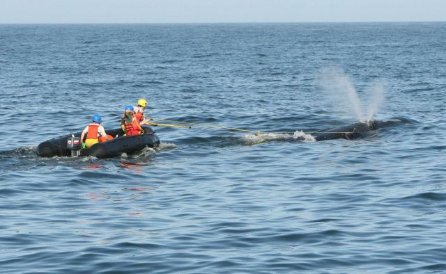 Removing marine debris from entangled right whale Picture
