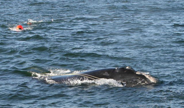 Right whale towing marine debris Picture