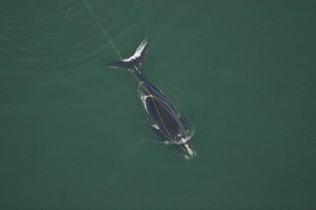 Right whale entangled with marine debris Picture