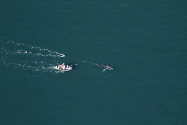 Aerial view of North Atlantic right whale that a team of state and federal biologists assisted in disentangling off Daytona Beach. Picture