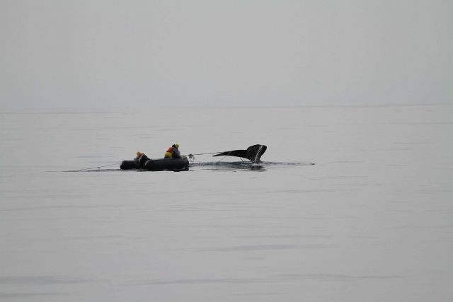 North Atlantic right whale that a team of state and federal biologists assisted in disentangling off Daytona Beach. Picture