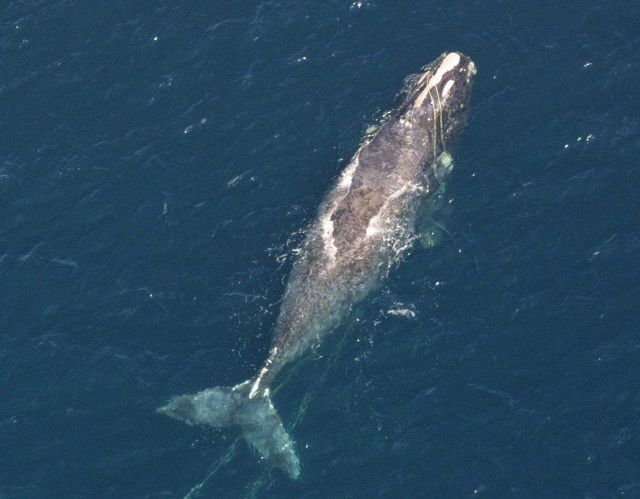 North Atlantic right whale entangled in line, visible across the head and trailing in the water beneath the whale past its tail. Picture