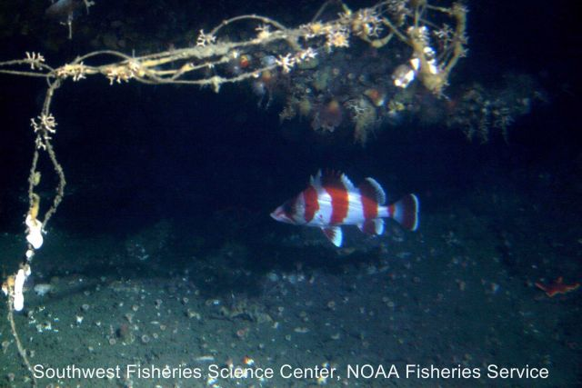 Flag rockfish next to derelict fishing line Picture