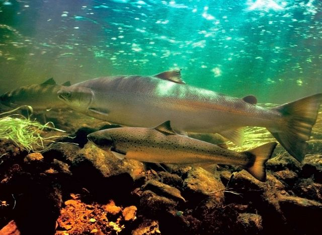 Adult coho salmon Picture
