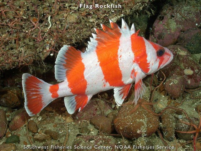Flag rockfish Picture