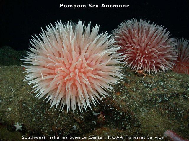 Pompom sea anemone Picture