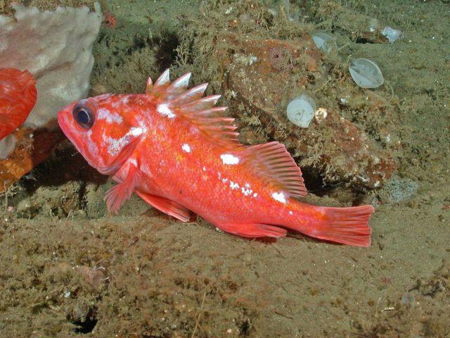 Rosy rockfish (Sebastes rosaceus) Picture