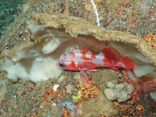 Aurora rockfish (Sebastes goodei) Picture