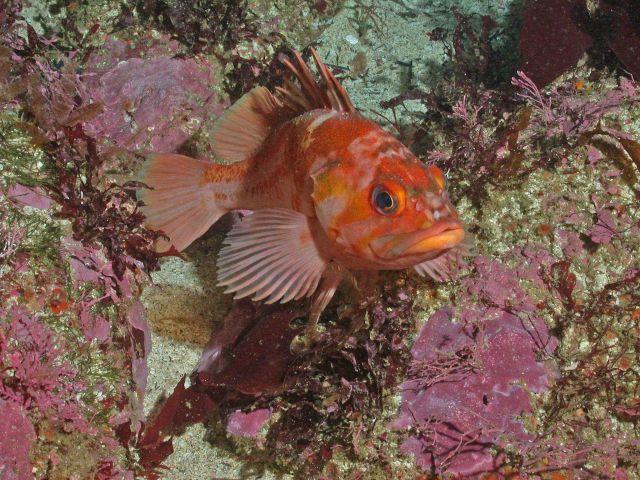 Copper rockfish (Sebastes caurinus) Picture
