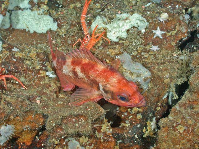 Aurora rockfish (Sebastes aurora) Picture