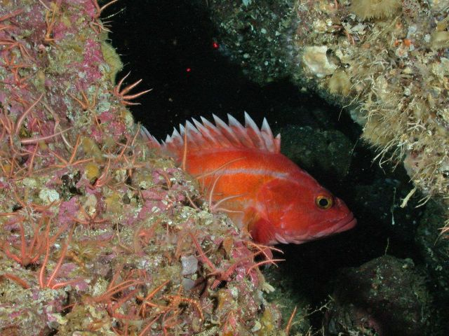 Yelloweye rockfish. Picture