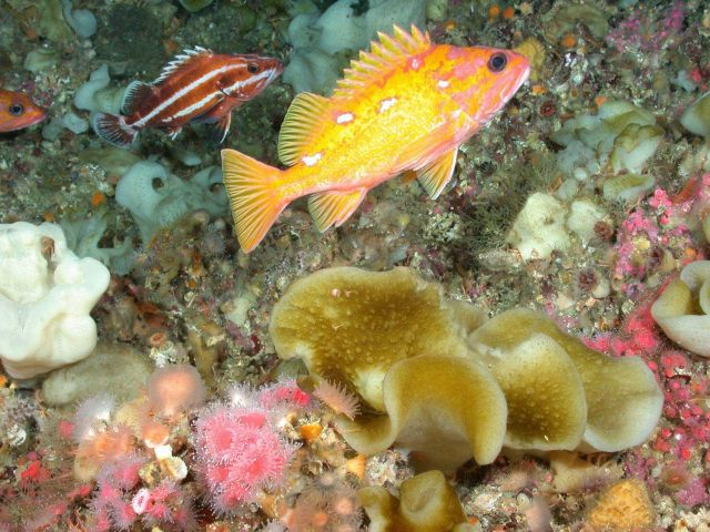 Striped fish is juvenile yelloweye rockfish with rosy rockfish in foreground. Picture