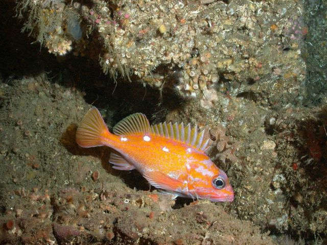 Rosy rockfish Picture