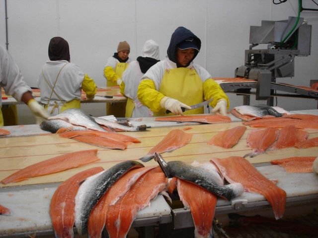 Filleting salmon. Picture