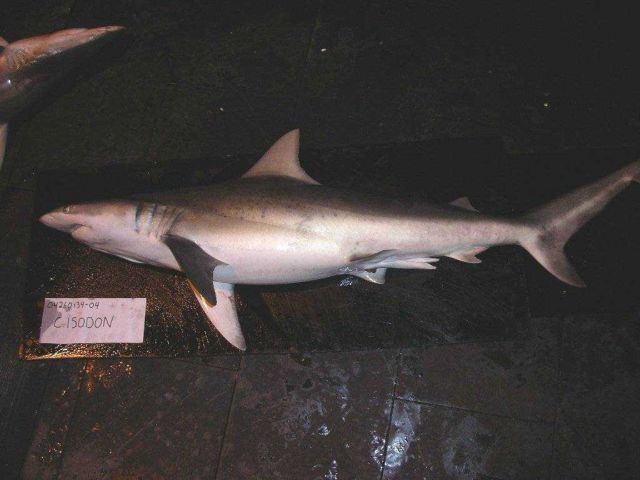 Finetooth shark (Carcharhinus isodon) Picture