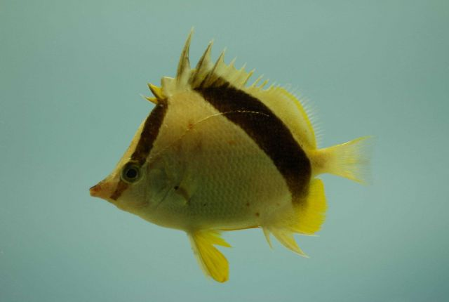 Bank butterfly fish (Chaetodon aya) Picture