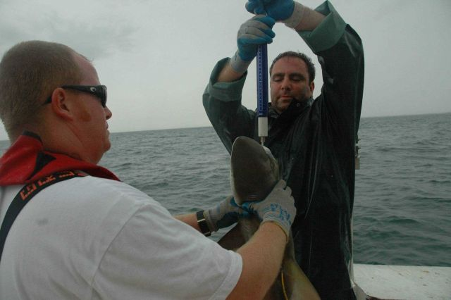 Weighing a shark on the NOAA ship GORDON GUNTER. Picture
