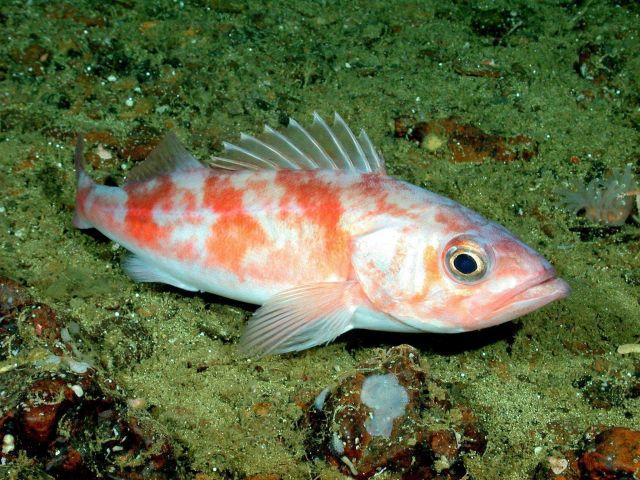 Chilipepper rockfish (Sebastes goodei) Picture