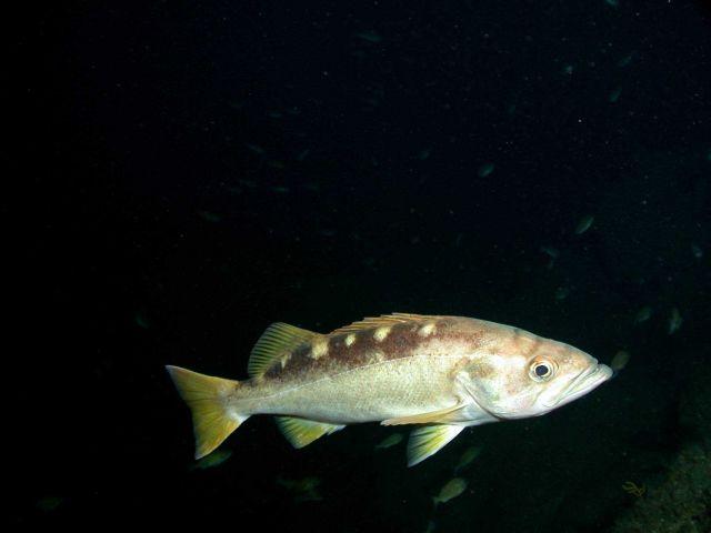 Olive rockfish (Sebastes serranoides) Picture