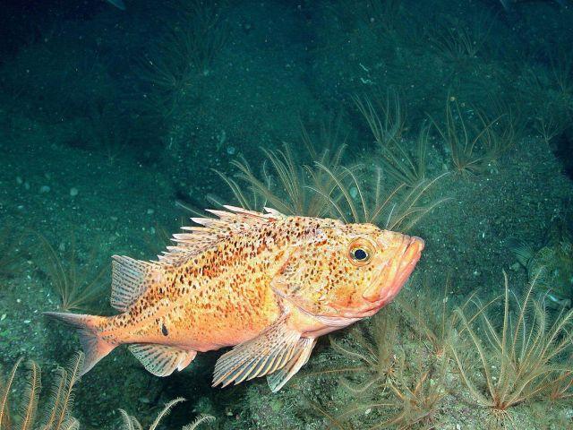 Bronzespotted rockfish (Sebastes gilli) Picture