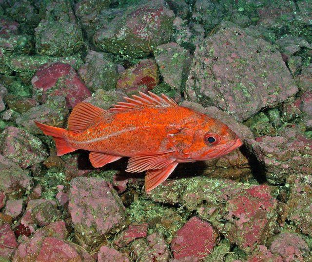 Vermilion rockfish (Sebastes miniatus) Picture