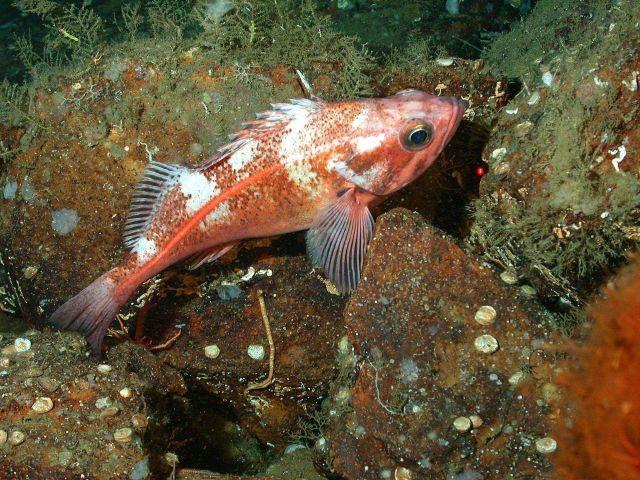 Bank rockfish (Sebastes rufus) Picture