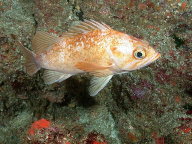 Kelp rockfish (Sebastes atrovirens) Picture
