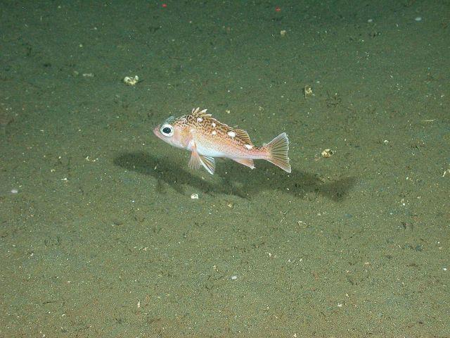 Freckled rockfish (Sebastes lentiginosus) Picture
