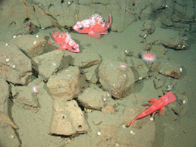 Chameleon rockfish (Sebastes phillipsi) Picture