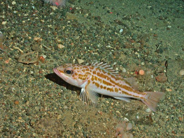 Greenstriped rockfish (Sebastes elongatus) Picture