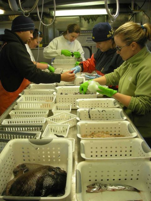 Scientist sorting catch from deep-water bathy-pelagic trawl survey obtained during sperm whale predation survey. Picture