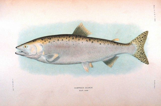 Humpback salmon, adult male Picture